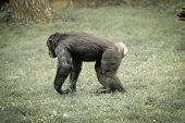 image of chimp  - chimps have more control of their bodies while walking on four or two legs - JPG
