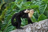 picture of baby-monkey  - An adult white - JPG