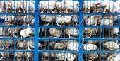 stock photo of truck farm  - Chicken transport in cramped cage on a pickup truck in Pakistan - JPG