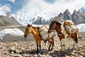 stock photo of karakoram  - Pack Horses in the Karakorum Mountains Pakistan - JPG