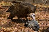 stock photo of plantain  - A hooded Vulture feeding on a dead Plantain Eater - JPG