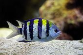 stock photo of sergeant major  - beautiful Sergeant Major fish swims among the corals