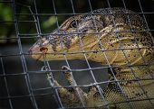 picture of goanna  - A monitor lizard climbing in the metal cage - JPG