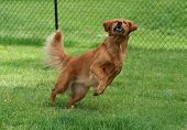 image of molly  - Molly a Golden Retriever running to catch a ball - JPG