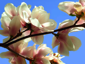 image of japanese magnolia  - Blooming spring tree branches of the magnolia - JPG