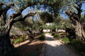 image of gethsemane  - Ancient olive trees in the Garden of Gethsemane - JPG
