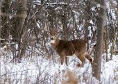 pic of deer rack  - Whitetail Deer Buck standing in a woods - JPG