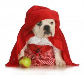little red riding hood - english bulldog dressed up in red dress and cape with apple on white backgr