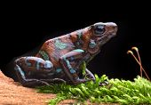 poison dart frog, Dendrobates auratus from the tropical rain forest of Panama. Beautiful tropical an