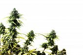 pic of ganja  - The top of marijuana plant isolated over white background - JPG