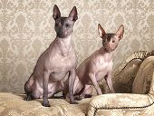 foto of mexican-dog  - Hairless Mexican xoloitzcuintle dogs on a antique couch - JPG
