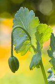 stock photo of opium  - Green bud flower of Papaver somniferum opium poppy - JPG