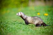 stock photo of ferrets  - adorable ferret pet walking outdoors in summer - JPG