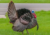 picture of wild turkey  - Strutting male wild turkey displaying in the spring mating season - JPG