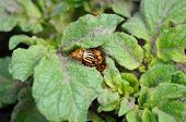 pic of potato bug  - attack of group of colorado bugs on the potato bush
