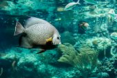 stock photo of angelfish  - Closeup of beautiful French Angelfish in Caribbean sea