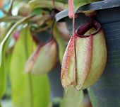 pic of nepenthes  - closeup of nepenthes with blur in the garden - JPG