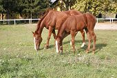 foto of mare foal  - Purebred mare and foal  are together in summer meadow - JPG