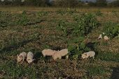 pic of piglet  - Piglets eat the fresh grass and dig root about in the meadow - JPG