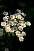 pic of feverfew  - Feverfew (Tanacetum parthenium) medicinal herb in the garden