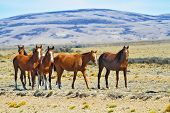 picture of mustang  - Herd of mustangs magnificent bay - JPG