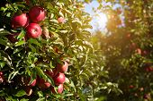 picture of orchard  - red apples on the trees in the orchard - JPG