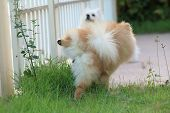 picture of peeing  - cute pet pomeranian dog peeing on grass in the garden - JPG