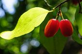 stock photo of dogwood  - Semitransparent ripe berries of dogwood on branches under sunshine - JPG