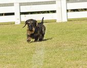 picture of long-haired dachshund  - A young beautiful dapple black and tan Wirehaired Dachshund walking on the grass - JPG