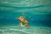 stock photo of lion-fish  - Lion Fish isolated on blue - JPG
