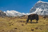 image of yaks  - Picturesque view of yaks grazing on a meadow - JPG