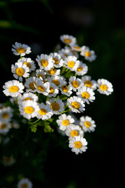 picture of feverfew  - Feverfew (Tanacetum parthenium) medicinal herb in the garden ** Note: Shallow depth of field - JPG