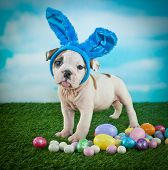 stock photo of sticking out tongue  - Funny Bulldog puppy wearing bunny ears and sticking out his tongue - JPG