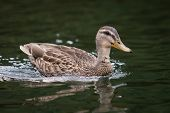 pic of water bird  - Brown duck bird swimming on lake water