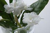foto of jasmine  - jasmine jasmine flower in a glass with water - JPG
