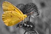 picture of color spot black white  - Clouded Sulphur butterfly feeding on Indian blanket flower - JPG