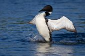 stock photo of loon  - common loon flaps his wings as he attempts to discourage nearby enemy - JPG