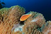 image of skunk  - Skunk Clownfish - JPG