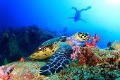 picture of hawksbill turtle  - Hawksbill Sea Turtle feeds on coral with people scuba diving in background - JPG