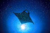 stock photo of manta ray  - Manta Ray - JPG