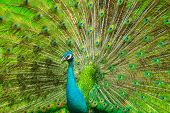 stock photo of indian peafowl  - The Indian peafowl male displaying - JPG