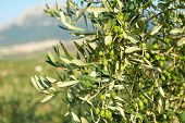 stock photo of olive trees  - Olive trees garden - JPG