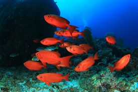 pic of school fish  - School red fish - JPG