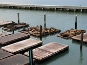 pic of sea lion  - Sea Lions of Pier 39 San Francisco California - JPG
