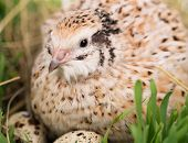 stock photo of quail  - Cute adult quail with eggs in the straw nest close - JPG