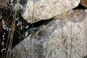 picture of lizard skin  - Lizard between the stones on the Greek island of Samos - JPG