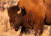 stock photo of lamar  - American Bison Bull glares at other bison while bathed in golden evening light in Yellowstone National Park - JPG
