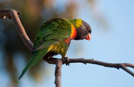 picture of lorikeets  - Solitary Rainbow Lorikeet perched on branch during Winter - JPG