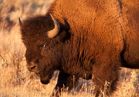 picture of lamar  - American Bison Bull glares at other bison while bathed in golden evening light in Yellowstone National Park - JPG