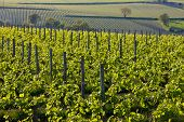 vineyards near Montsoreau, Pays-de-la-Loire, France